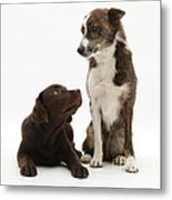 Mixed Breed And Chocolate Lab Metal Print
