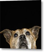 Mixed Breed Dog Looking Up Metal Print by Ryan McVay