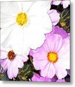 Mixed Pink And White Cosmos Metal Print