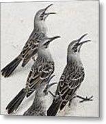 Mockingbirds Mimidae Galapagos, Equador Metal Print