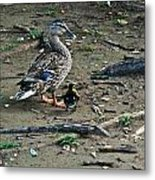 Mom And Duckling Metal Print