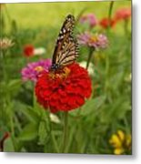 Monarch And Red Zinnia 2009 Metal Print