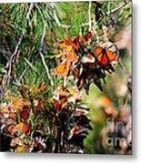 Monarch Butterfly Gathering Metal Print
