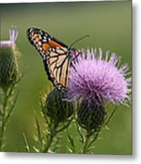 Monarch Butterfly On Bull Thistle Wildflowers Metal Print