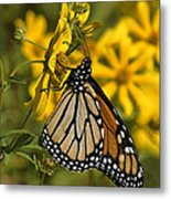 Monarch Butterfly On Tickseed Sunflower Din146 Metal Print