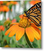 Monarch Butterfly On Tithonia Flower Metal Print