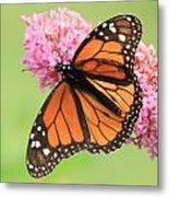 Monarch On Blossoms Metal Print