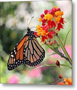 Monarch On Butterfly Weed Metal Print