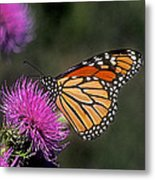 Monarch On Thistle 13f Metal Print
