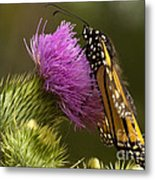 Monarch On Thistle 2 Metal Print