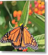 Monarch Sipping Metal Print
