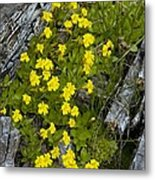 Monkey-flower (mimulus Primuloides) Metal Print