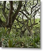 Monkeypod Trees Metal Print