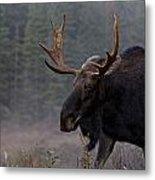 Moose, Algonquin Provincial Park Metal Print