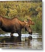 Moose Drinking In A Pond, Tombstone Metal Print