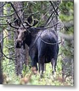 Moose Looks Metal Print