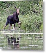 Moose On The Move Metal Print