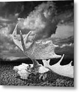 Moose Skull On Parched Earth Metal Print