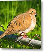 Morning Dove II Photoart Metal Print