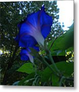 Morning Glory 01 Metal Print
