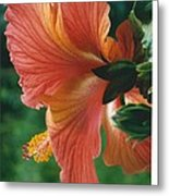Morning Light Through A Hibiscus Metal Print