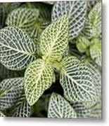 Mosaic Plant (fittonia Albivenis) Leaves Metal Print