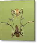 Mosquito Culicidae Freshly Hatched Metal Print