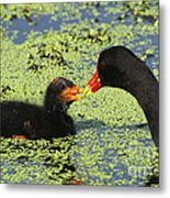 Mother Common Gallinule Feeding Baby Chick Metal Print