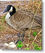 Mother Goose At Nest Metal Print by Susan Leggett