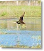 Mottled Duck In Flight Metal Print by Lynda Dawson-Youngclaus