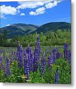 Mount Adams And Lupine Field Metal Print