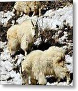 Mountain Goat Trio Metal Print