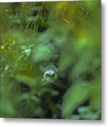Mountain Gorilla Volcanoes National Park Rwanda Metal Print