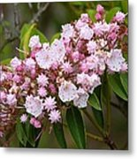 Mountain Laurel Blooming Metal Print