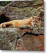 Mountain Lion Puma Concolor Lounging Metal Print by Gerry Ellis
