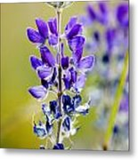 Mountain Lupine Glacier National Park Metal Print