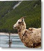 Mountain Sheep 1639 Metal Print