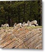 Mountain Sheep 1673 Metal Print