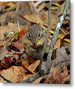 Mouth Full Chipmunk - C3029d Metal Print