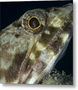 Mouth Of A Variegated Lizardfish, Papua Metal Print