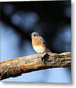 Mr. Bluebird Metal Print