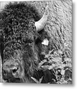 Mr Goodnight's Bison Metal Print