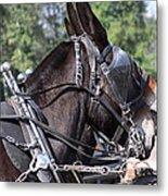 Mule Days - Benson - A Pair Of Aces - Mules Metal Print