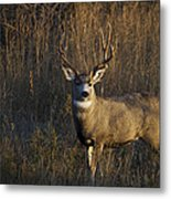 Mule Deer Buck Metal Print