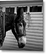 Mule - Tied Up For A While Metal Print