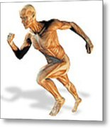 Muscular System Metal Print by Victor Habbick Visions