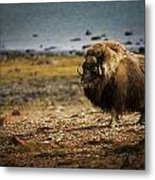 Muskox Ovibos Moschatusin The Northwest Metal Print