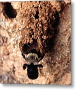 Mustached Mud Bee Metal Print