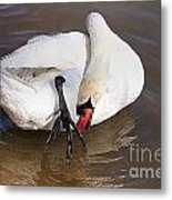 Mute Swan Grooming In Shallow Water 2 Metal Print
