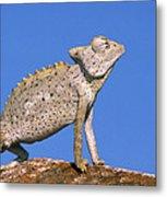 Namaqua Chameleon Chamaeleo Namaquensis Metal Print